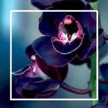 Load image into Gallery viewer, Ginger and Black Orchid