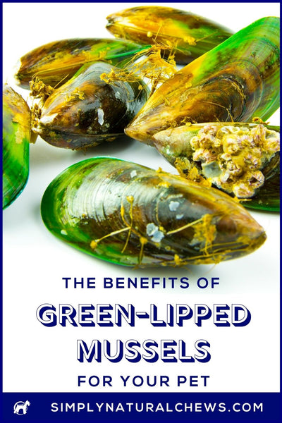Green Lipped Mussels in shell on white background