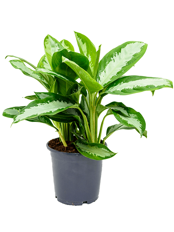 Aglaonema diamond bay kamerplant