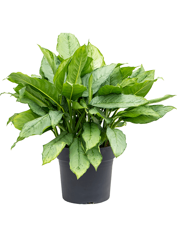 Aglaonema freedman - Chinese Evergreen kamerplant
