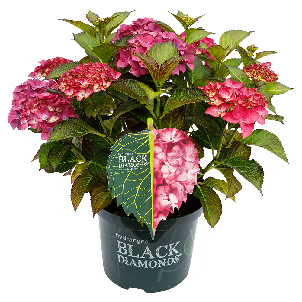 Hydrangea macr. Red Angel® Purple - Black Diamonds® Collection