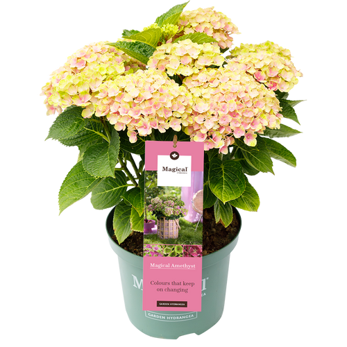 Hydrangea macr. Amethyst ® Pink - Hortensia  Magical® Four Seasons Collection