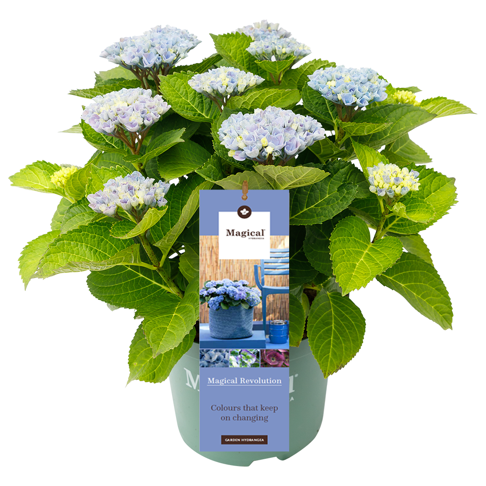 Hydrangea macr. Revolution® Blue - Hortensia Magical® Four Seasons Collection