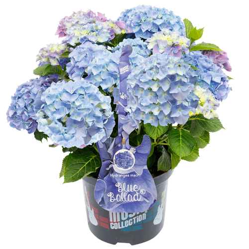 Hydrangea macr. Blue Ballad® - Hortensia Music Collection®