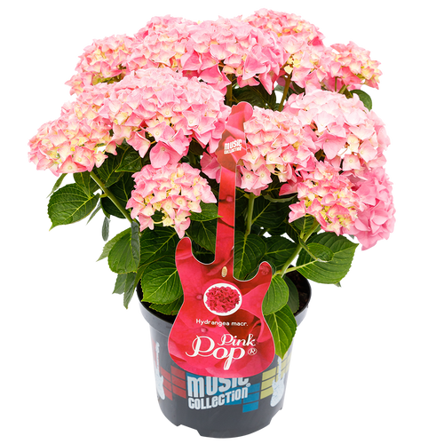 Hydrangea macr. Pink Pop® - Hortensia Music Collection®