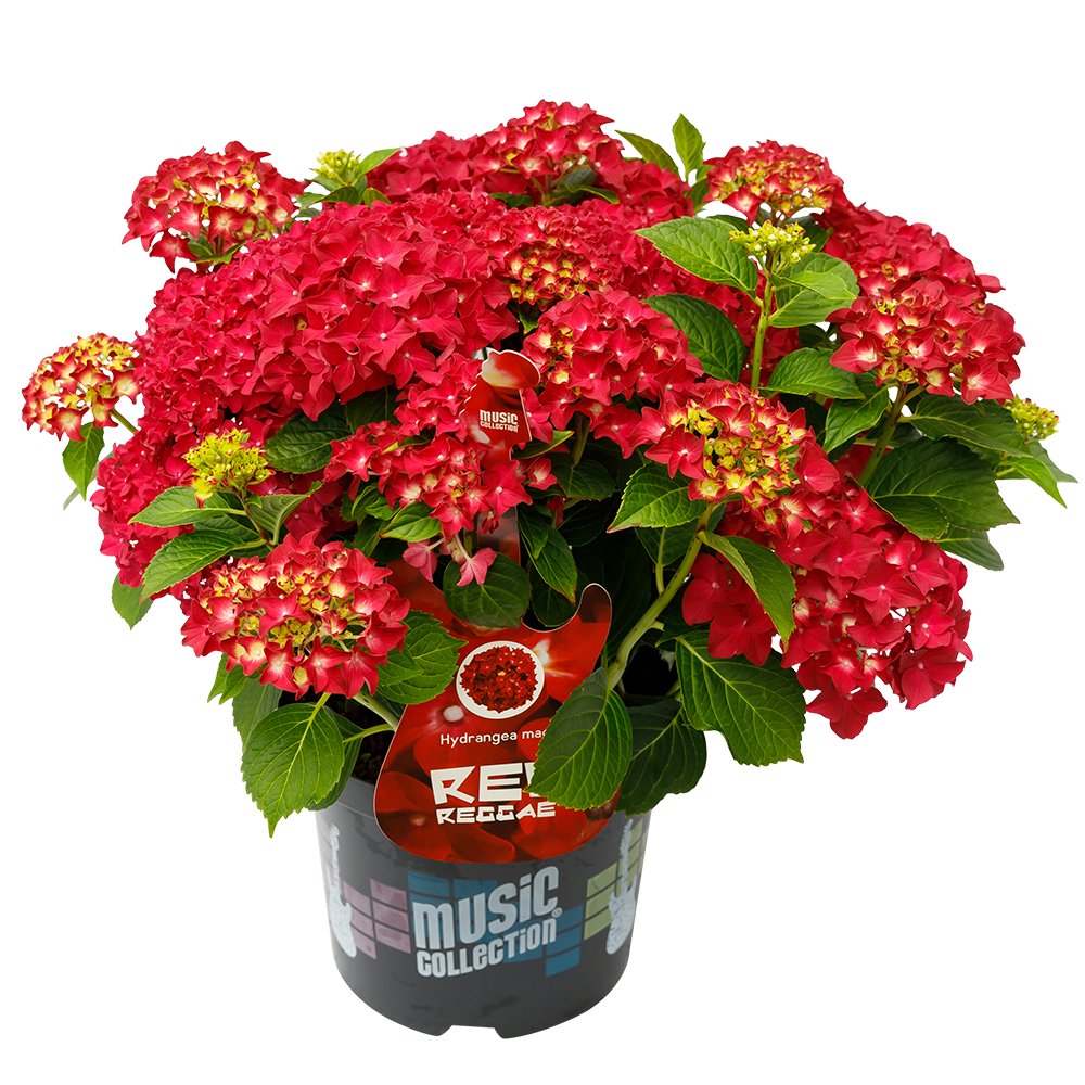 Hydrangea macr. Red Reggae® - Hortensia Music Collection®