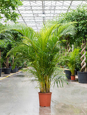 Dypsis (areca) lutescens