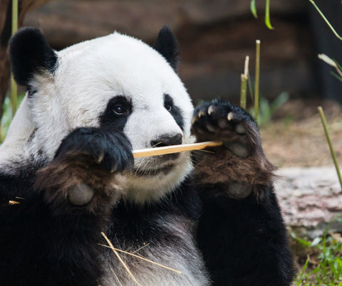 A panda is smelling a bamboo strand