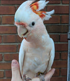 Major Mitchell Cockatoos for Sale