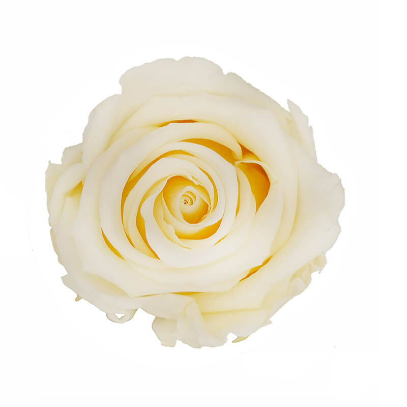 Champagne Preserved Roses - Bellissimo Wholesale Preserved Roses