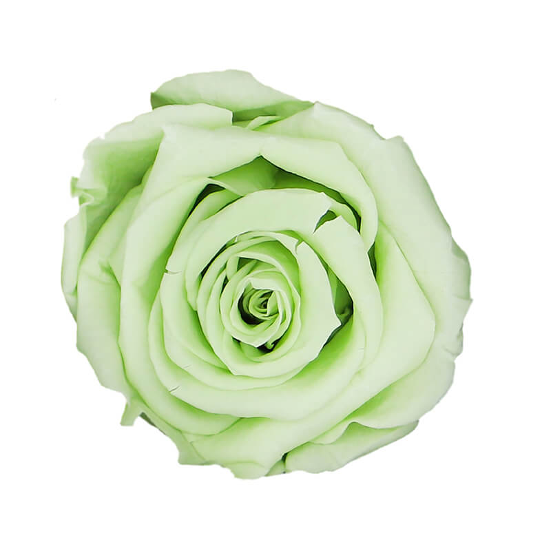 Green Tea Preserved Roses - Bellissimo Wholesale Preserved Roses