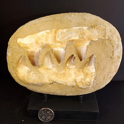 Authentic Mosasaur Teeth on Reconstructed Jaw Fossil Display