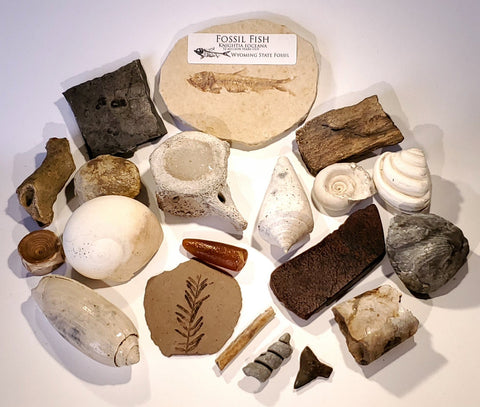 Fossil Collection Starter Kit All American Fossils Authentic Specimens