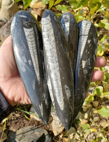 Orthoceras Cephalopod Ancient Squid Fossil Gift Guide