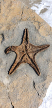 Load image into Gallery viewer, Astroidea sp. Starfish Fossil | Museum Grade Specimen | Zero Restoration