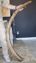 Load image into Gallery viewer, Wooly Mammoth Tusk
