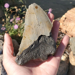 "4.5"" Megalodon Tooth Partial"