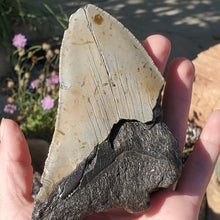 "Load image into Gallery viewer, 4.5"" Megalodon Tooth Partial"