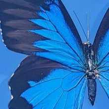 Load image into Gallery viewer, Blue Swallowtail