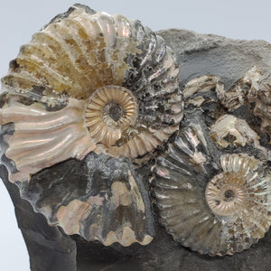 Ammonite Cluster in Shale