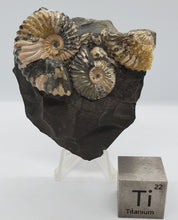 Load image into Gallery viewer, Ammonite Cluster in Shale