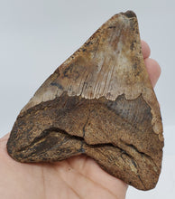 "Load image into Gallery viewer, 4.75"" Megalodon Tooth"