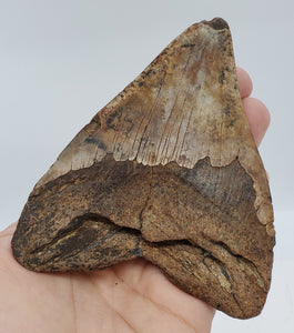 "4.75"" Megalodon Tooth"