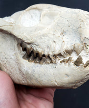 Load image into Gallery viewer, Oreodont Skull (Merycoidodontoidea)
