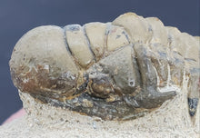 Load image into Gallery viewer, Crotalocephalus gibbus Trilobite