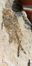 Load image into Gallery viewer, Young Phareodus testis | Wyoming | Fossil Fish