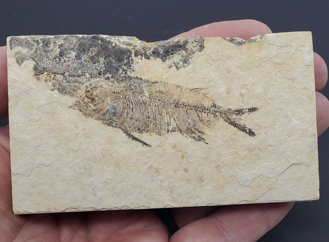 Young Phareodus testis | Wyoming | Fossil Fish