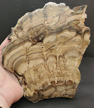 Load image into Gallery viewer, Stromatolite Algae Fossil Polished Slab | Wyoming