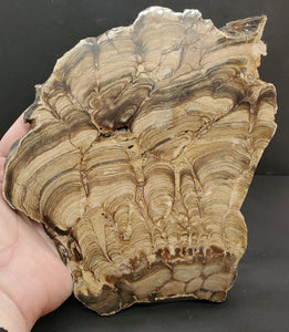 Stromatolite Algae Fossil Polished Slab | Wyoming