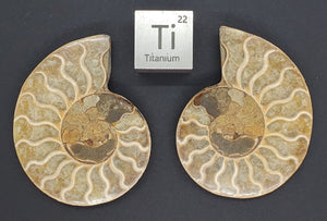 Ammonite Pair 3""