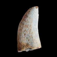 Load image into Gallery viewer, Tyrannosaurus T-Rex Tooth | Hell Creek Natural Specimen