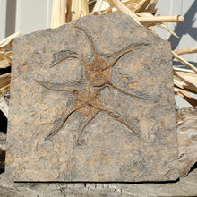 Load image into Gallery viewer, Fossil Brittle Star Fish | Morocco