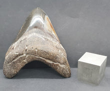"Load image into Gallery viewer, 4"" Megalodon Tooth"