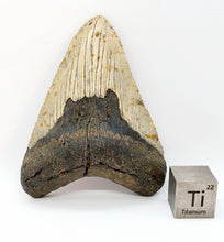 "Load image into Gallery viewer, Huge 5"" Megalodon Tooth 