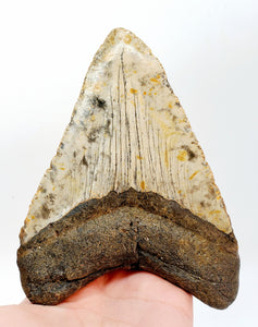 "Huge 5"" Megalodon Tooth 