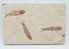 Load image into Gallery viewer, Knightia Eocaena Mortality Plate | Unrestored Fossil Fish | Wyoming