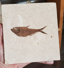 Load image into Gallery viewer, Diplomystus 3.75"