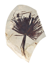 Load image into Gallery viewer, Sabalites powellii Fossil Palm Leaf | Wyoming | Zero Restoration