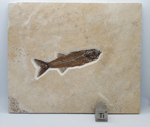"6"" Mioplosus labracoides 