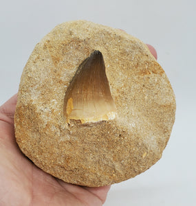 Huge Mosasaur Tooth in Matrix