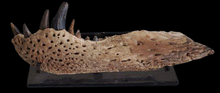 Load image into Gallery viewer, Alligatoroid Lance Formation Leidyosochus Jaw
