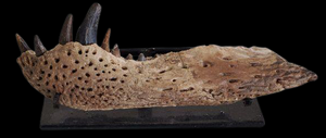 Alligatoroid Lance Formation Leidyosochus Jaw