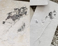 Load image into Gallery viewer, Prepare Your Own Fossil Fish