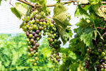 Local Grapes in Veraison