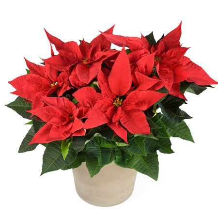 Rose de Noël naturelle - Poinsettia 40cm.