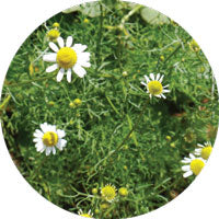 Chamomile Sigrid Naturals Ingredients